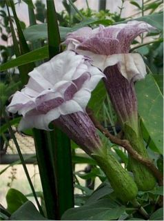 Angels Trumpet Double Purple Showy Flowers 10 seeds New