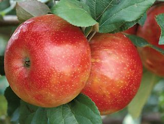 HONEYCRISP HONEY CRISP APPLE TREE SWEET JUICY TART APPLE TREE SEEDS