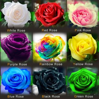ROSE SEEDS Rare Rainbow Pink Purple Green Black White Red Blue Rose