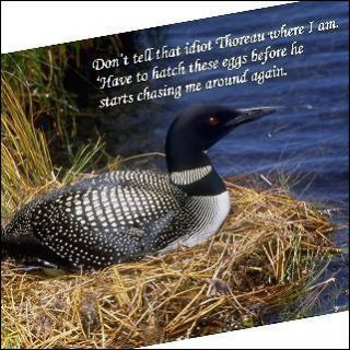 Fridge Magnet Picture Humor Loon hatching eggs, hiding from Thoreau
