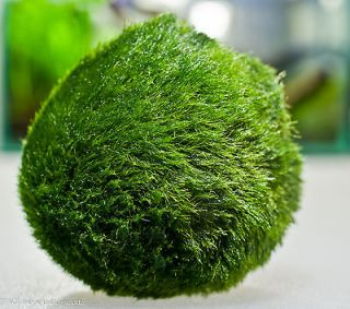 Moss Ball x5 live aquarium plant decoration package flame java fish
