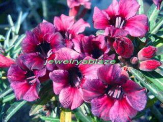 desert rose seeds in Seeds