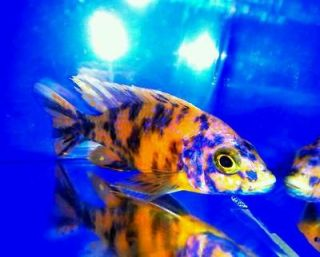 Live Tropical Fish African Cichlids 1 Aul sp. O.B Peacock 4.5 inch