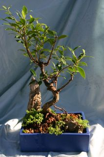 Incredible Ficus Bonsai Banyan Tree w/ Air Roots