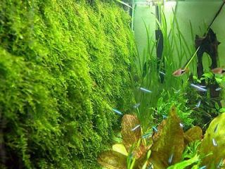 Xmas Moss co2 fern live aquarium plant java anubias S4