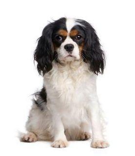 Cavalier King Charles Spaniel~Dog Breed ~ Edible Image Icing Cake