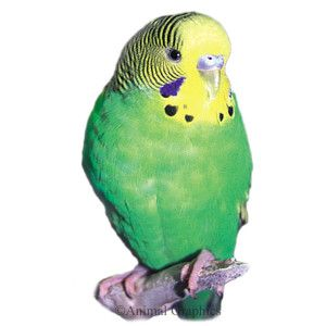 Green Parakeet   Live Pet   Sale