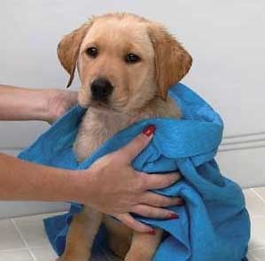 Newly listed Worlds Most Absorbent Pet Towel   Cuts Drying time by 70%