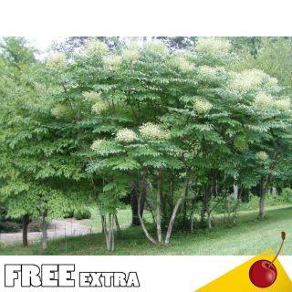 Tree Devils Walking Stick Aralia Spinosa 25 Extra Seeds