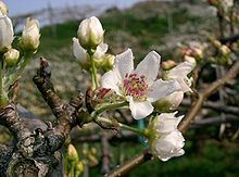 Asian Pear Tree Seeds 10 Seeds Delicious Pears Grow for Flavor or