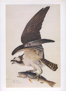 John James Audubon print   Osprey carrying fish