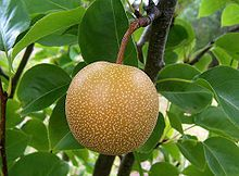 ASIAN PEAR TREE SEEDS, 10 SEEDS, DELICIOUS PEARS, GROW FOR FLAVOR OR