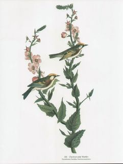 CHESTNUT SIDED WARBLER folio size bird print JOHN JAMES AUDUBON