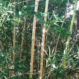 Yellow Groove Bamboo plants, Natural Fence Privacy/shade Security