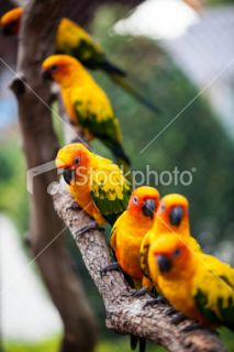 colorful Sun conure bird Royalty Free Stock Photo