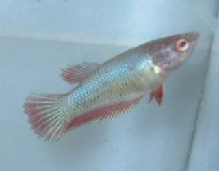 Halfmoon Female Betta Live Freshwater Aquarium Fish