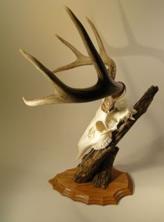Point White Tail MULE Deer Antlers Pedestal Mount Skull SHEDS GNARLY