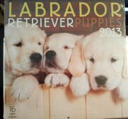 Labrador Retriever Puppies 2013 Wall Calendar  16 Month Calendar