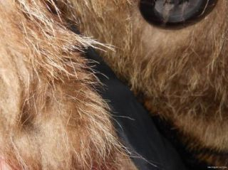 Mens RACCOON Fur COAT Natural Brown Jacket Canadian Mans S M
