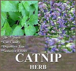 Catnip Seeds Cat Kitty Kittens Love Them A Treat