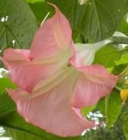 Baby Pink Angel Trumpet Brugmansia Plant 12 Trumpets Stunning