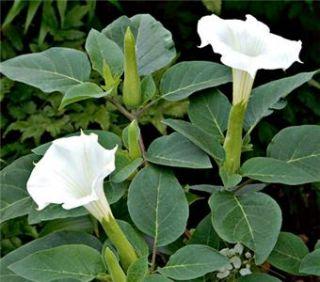 Devils Trumpet Seeds Datura Metel Solanaceae Plant Flower Brugmansia