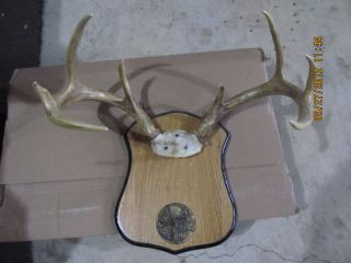 4x4 Whitetail Buck Deer Rack Antlers Horns Craft