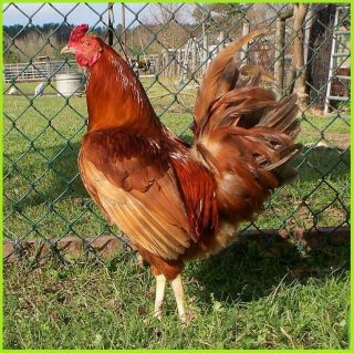 18 Pure Pumpkin Hulsey Gamefowl Fertile Hatching Eggs