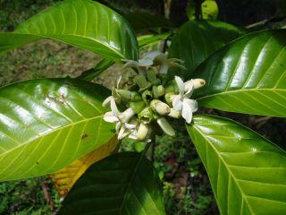 RARE Exotic Borojo Borojoa Patinoi Fresh Seeds The New Healthy