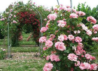 Climbing Rose Seeds Climber Pink Perennials Flower Bulk Double B3500