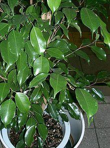 500 Ficus Benjamina Weeping Fig Tree Seeds Bonsai