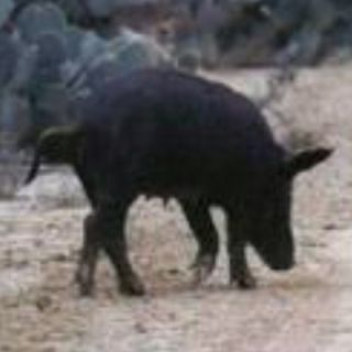 Hunt For 2 So Texas Includes Lodging Boar Pig Hunting Feral Hogs Deer