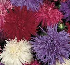 Coloriffic Flowers, China Aster Mix Fresh Seeds