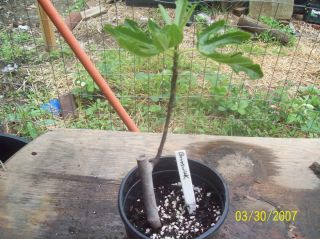 Brunswick Fig Tree