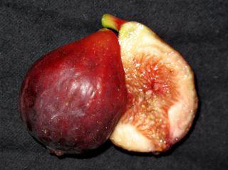 Fig Tree cuttings Brooklyn Dark Sweet and Good Flavor Cold Hardy