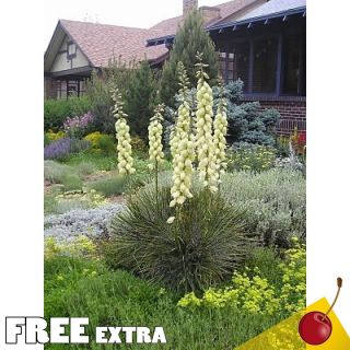 Soap Weed Yucca glauca 25 Extra Seeds