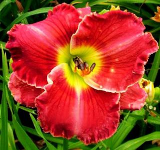 LIPS OF FIRE RED DAYLILY  DF   LIVE PLANTS   PERENNIAL FLOWERS