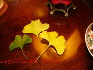 Vtg Heirloom Ginkgo Biloba Maidenhair Pre Bonsai Ginko Tree Oriental