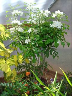 Plumeria Pudica Dwarf Evergreen Frangipani Plant