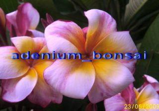 Plumeria Frangipani FlowersHeaven Jazz 25 Seeds Fresh RARE