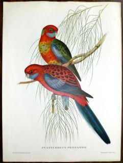 Vtg Parakeet Birds Print J Gould Hullmandel Walton