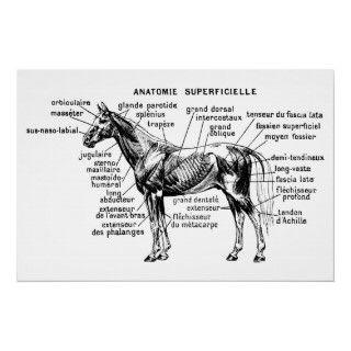 esqueleto animal de la anatomía de los caballos del caballo de los