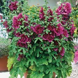 Hollyhock Queeny Purple 25 Flower Seeds Dbl Dwarf Aas