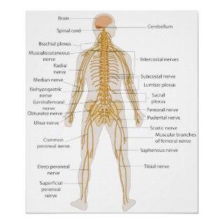 Diagrama del sistema nervioso del cuerpo humano impresiones de