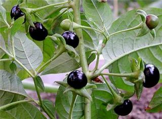 Seeds Unique Flower Belladonna House Plant RARE Garden
