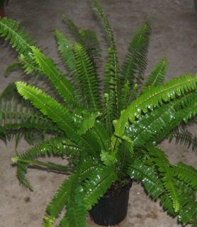 KIMBERLY QUEEN FERN or AUSTRALIAN SWORD FERNMATURE PLANTS/FERNS 1