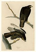Color Paintings by John James Audubon The Birds of America