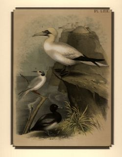 1878 Print Theodore Jaspers Birds of North America Tern & Duck Matted