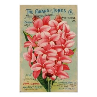 Catálogo de semilla del vintage, Canna rosado Impresiones de