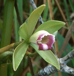 Jewell Orchids – Leafless Vanilla Native Florida Orchid Plant
